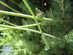 French Lavender Bug.JPG