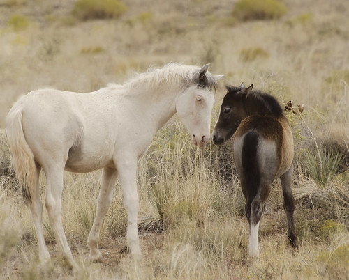 NM Wild Horses (56) nwm