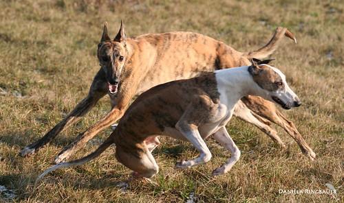 Joey & Greyhounds