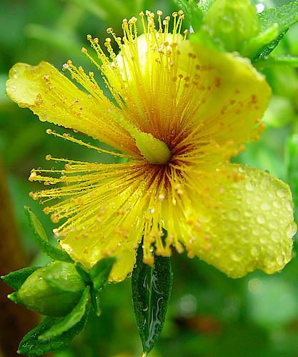 """Blüte """"Hypericum Gemo"""" by Hellebardius"""