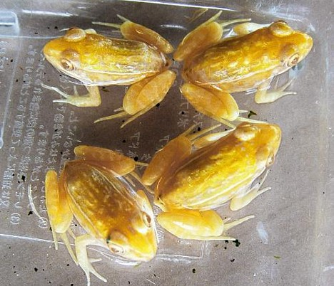 Golden Frogs