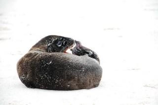 Sealion pup yawning