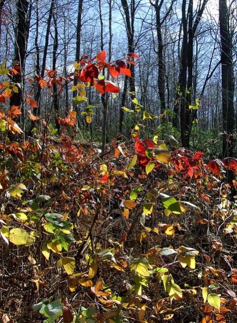 autumnal blackberry patch