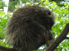 Porcupine in a tree!