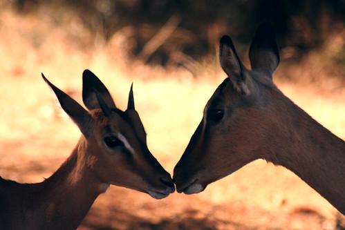impala smooch