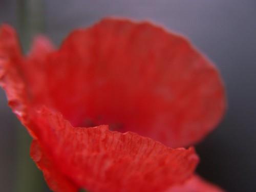 Poppy/ Mohn