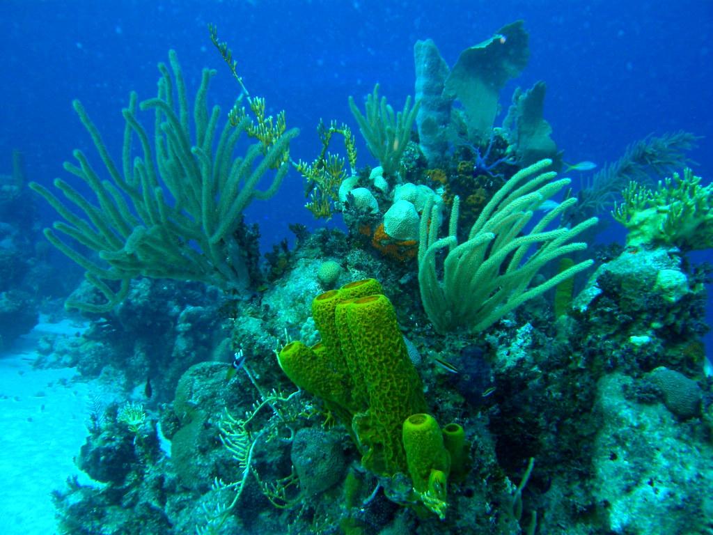 Cabezo coralino con gorgonias y esponjas