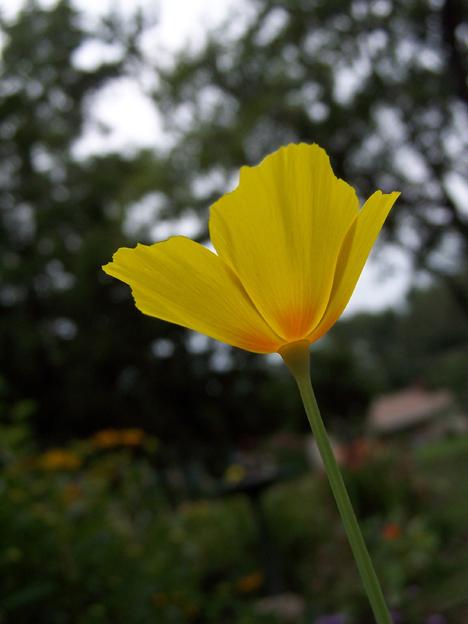 Angled Poppy