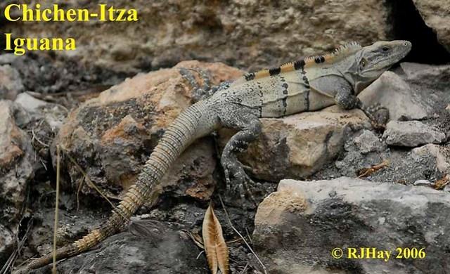 Chichen-Itza - Iguana behind the Nunnery