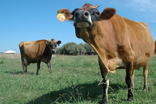 these cows make my cheese.
