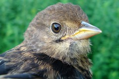 Eastern Towhee male fledgling