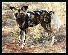 AFRICAN PAINTED DOG....EXTREMELY ENDANGERED WILD DOG
