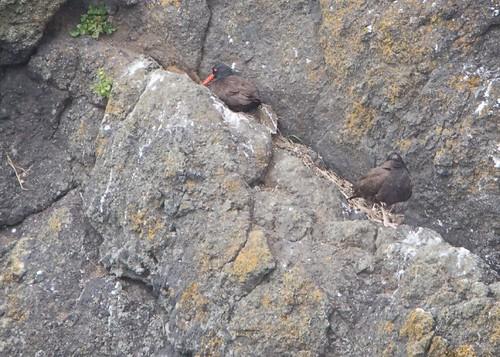 Black Oystercatchers