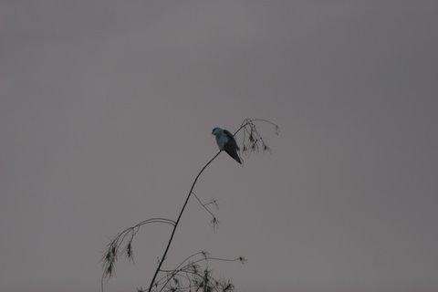 black shouldered kite bannerghatta forest area 290907