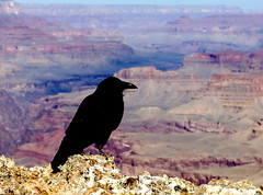 Raven perched above Tanner Trail at Lipan Point