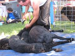 2007Jul28_SheepShearing05
