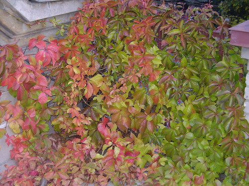 Wild grape autumn leaves