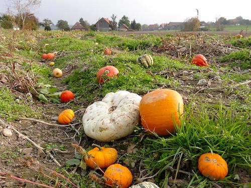 Pumpkin patch - Kürbisfeld