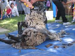2007Jul28_SheepShearing11