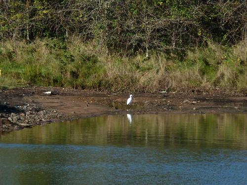 White egret I think at Castle Espie 4