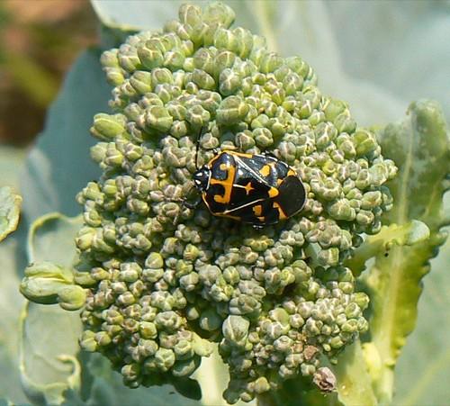 the harlequin bug