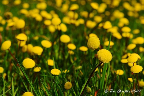 Sea of yellow