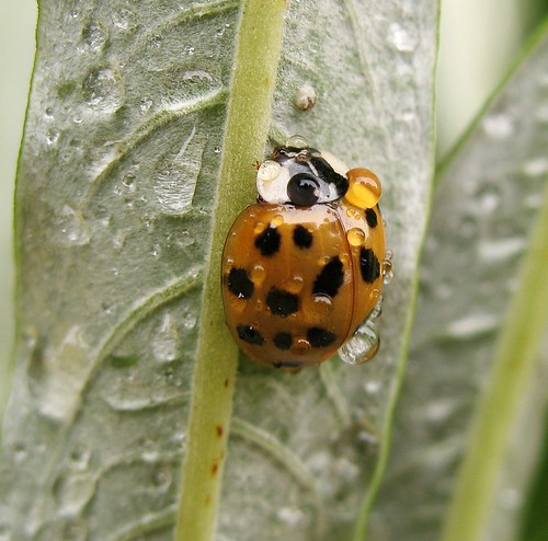 Harlequin ladybird (Harmonia axyridis succinea) invades the neighbourhood