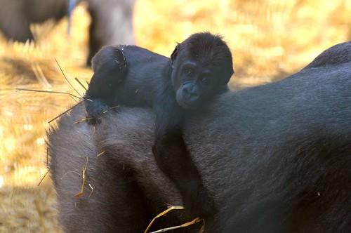 Gorilla Mumbou im Howletts Wild Animal Park