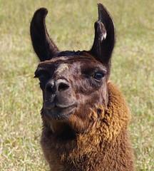 guard llama 2 crop 2
