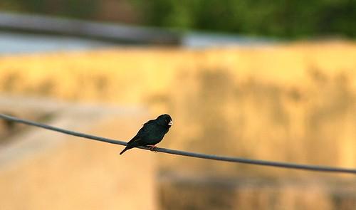 Village indigobird male