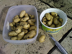 First Spud Harvest of 2007