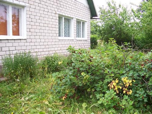marjapõõsad maja taga