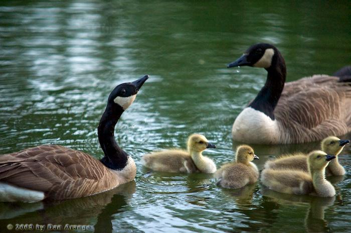 Goose Redux