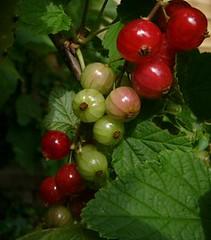 currants ripening