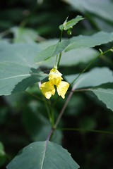 Pale Jewelweed Plant