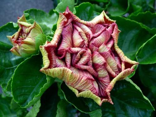 Hawaiian Hibiscus Buds