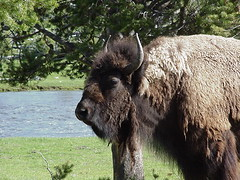 Upclose bison