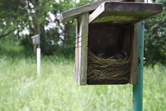 Tree Swallow Nest - no eggs, no babies
