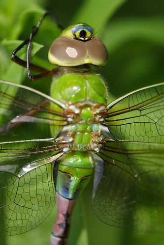 Common Green Darner - Female Teneral Closeup