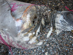 Festering Basking Shark, Channel Islands