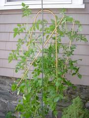 Extra Tall Tomato Plant