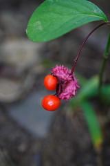 Running Strawberry Bush Berries - Sept 19th
