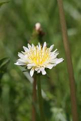 三保市民の森のシロバナタンポポ(White dandelion at Miho Community Woods, Japan)