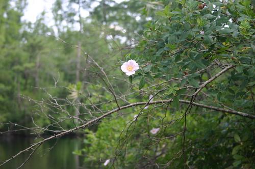 Paddling Perquiman County Blueway - Pink Flower