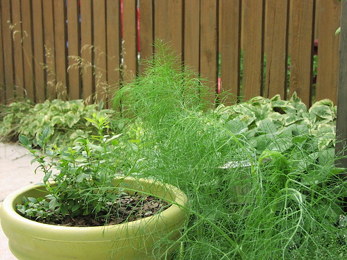 volunteer fennel encroaches on the blueberry