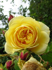Yellow Rose & Red Buds