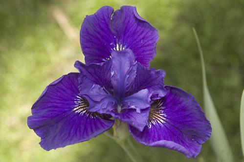 Iris 'Velvet Ruffles'