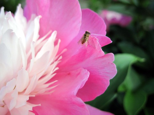 Peony Bee