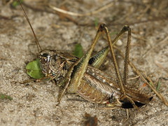 grey bush-cricket