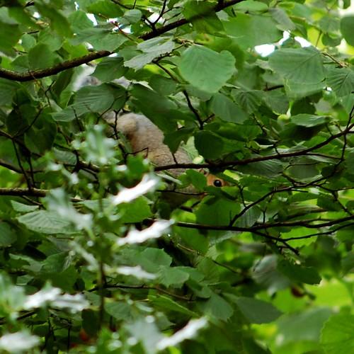 Beady-eye Squirrel